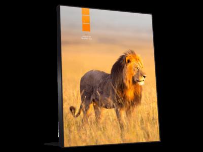 Décoration photo murale lion en Savane